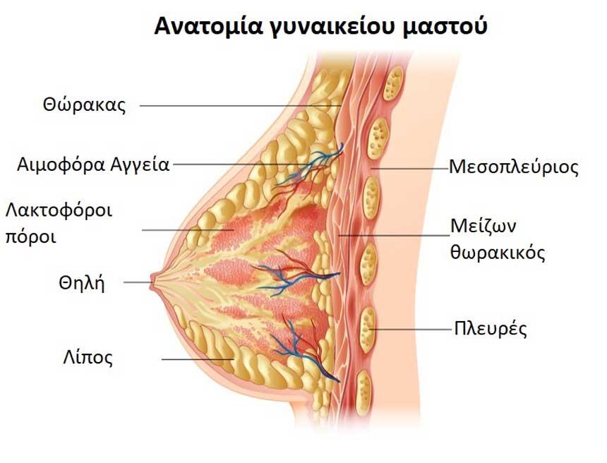 Ανατομία του γυναικείου μαστού
